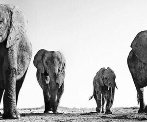 elephant, animal, and black and white image