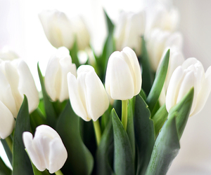 flowers, tulips, and white tulips image