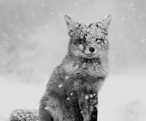 animal, black and white, and fox image