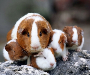 cute animals, guinea pig, and cute image