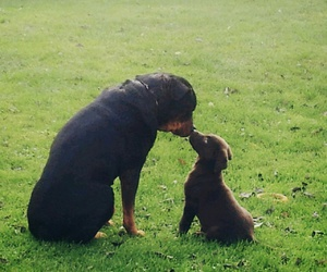 dogs, labrador, and rottweiler image