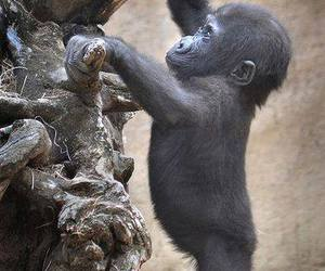 baby, gorilla, and cute image