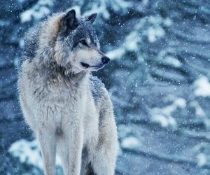 wolf, snow, and winter image