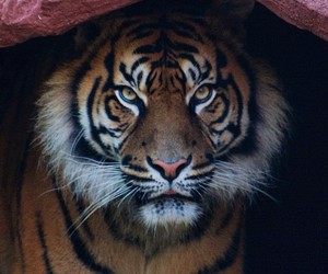 animal, beautiful, and tiger image