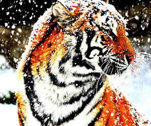 tiger, animal, and snow image