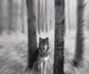 wolf, forest, and black and white image