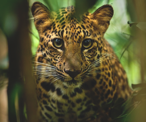 animals and leopard image