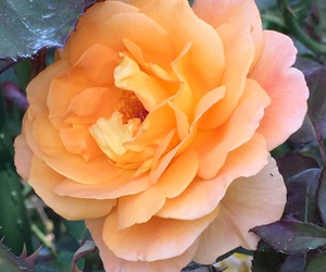 flower, rose, and nature image