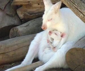 kangaroo, albino, and animals image
