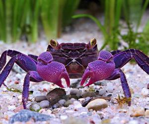 crab and purple image