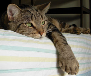 cat, animals, and bed image