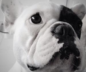 dog, buldogue, and pet image