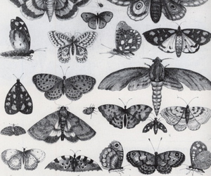 moth, scientific illustration, and moths drawing image