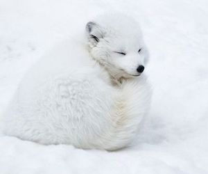 zoo and white fox snow image
