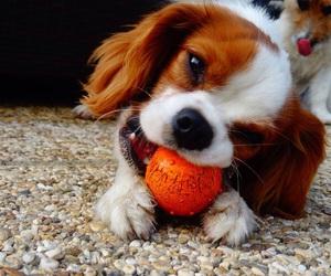 ball, chiot, and dog image