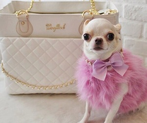 chihuahua and fashion image