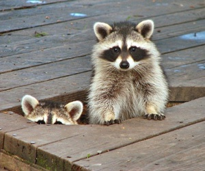cute animals and racoon image