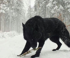 wolf, winter, and black image