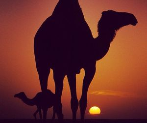 arabic and camel image