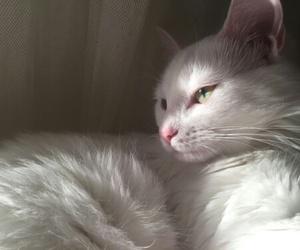 cat, animal, and white image