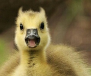cuteness, ducks, and face image