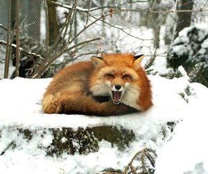 cub, cute animals, and fox image