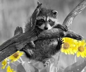 animal, raccoon, and adorable image