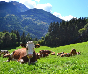austria, countryside, and cow image