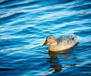 animal, beautiful, and duck image