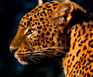 leopard, animal, and wallpaper image