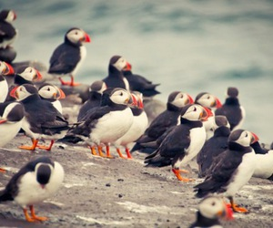 birds, water, and puffin image