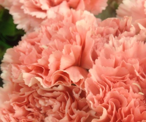 carnations, flowers, and pink image
