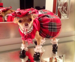 chihuahua, dress, and dog image