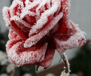 rose, red, and snow image
