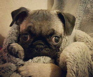 baby, pug, and lo ve image