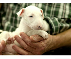 animals, bull terrier, and dogs image