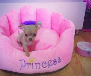 chihuahua, dog, and lifestyle image