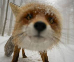 fox, winter, and cute image