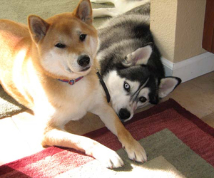 husky and shiba inu image