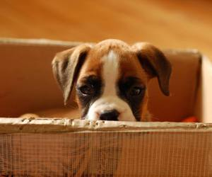 animals, boxer, and puppy image
