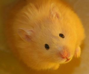 adorable, hamster, and fuzzy image