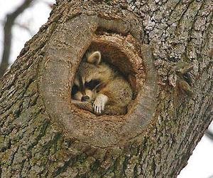 animal, cute animals, and racoon image