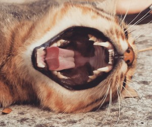 cat, roar, and soft image