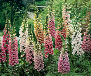 flowers, beautiful, and foxgloves image