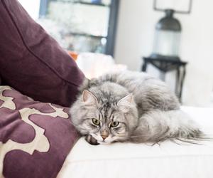 angora, cat, and curl image