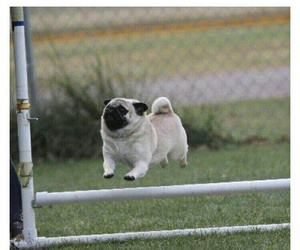pug, dog, and funny image