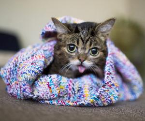 cat, lil bub, and bub image