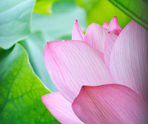 flower, green, and lotus image