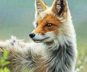 animals, wild, and fox image