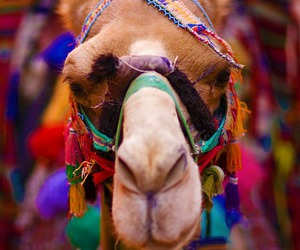 animal, colorful, and camel image